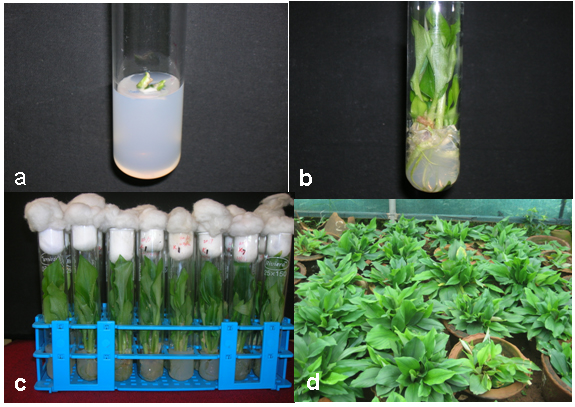 Figure 1 - Rapid multiplication and in vitro production of leaf ...